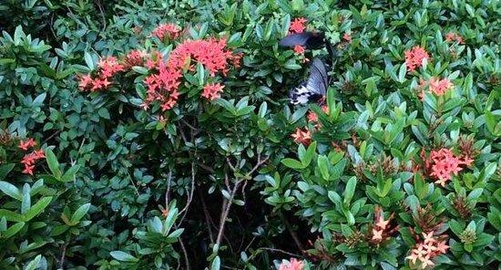 Huge butterflies on the flowers at Hong Kong Park