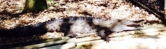 Jupiter, FL: Florida Saltwater Crocodile