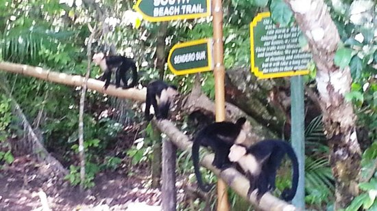 Tulemar Bungalows & Villas: White-faced Monkeys playing at Tulemar Beach