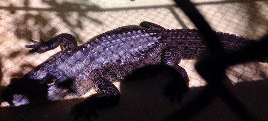 Jupiter, FL: Gator
