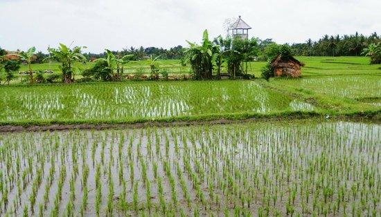 Ubud Lestari Bungalows: View