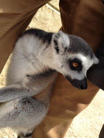 Amazon World Zoo Park: Meet the lemurs close up!!