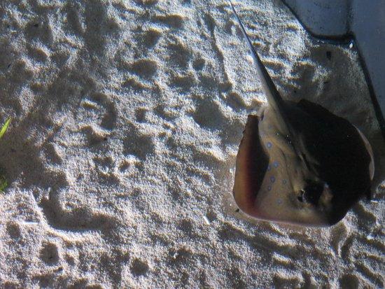Shedd Aquarium: Stingray!
