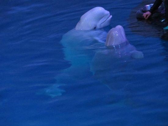 Shedd Aquarium: Beluga Whales!