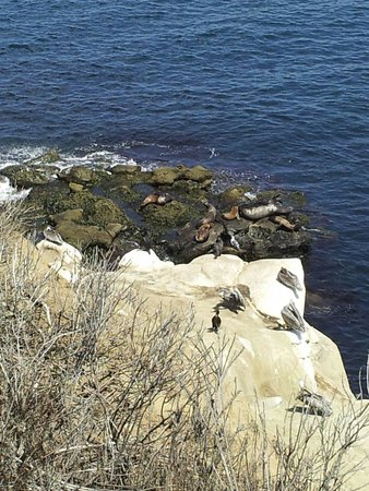 La Jolla Cove: Sea lions, seals and pelicans sunbathing