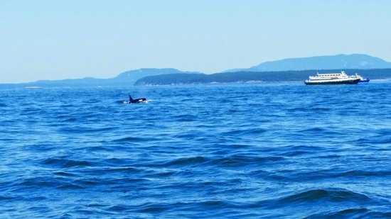 Puget Sound Express - Day Trips : Watching the Orcas