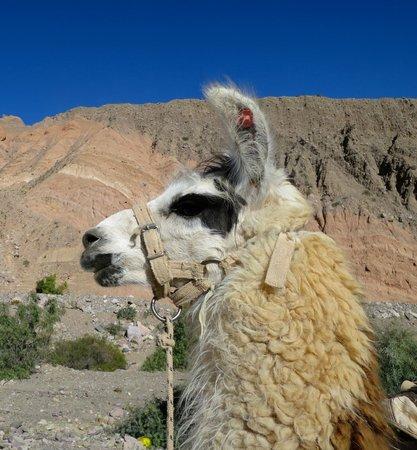 Caravana De Llamas Day Tours: Llama
