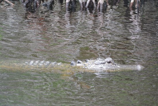 Captain Jack's Airboat Tours : 'Gator!