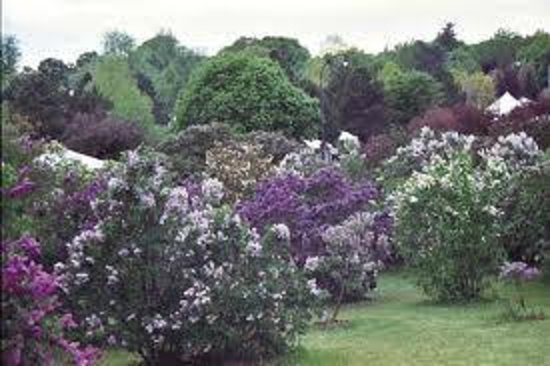 A B&B at The Edward Harris House Inn & Cottages: Highland Park Lilac Festival