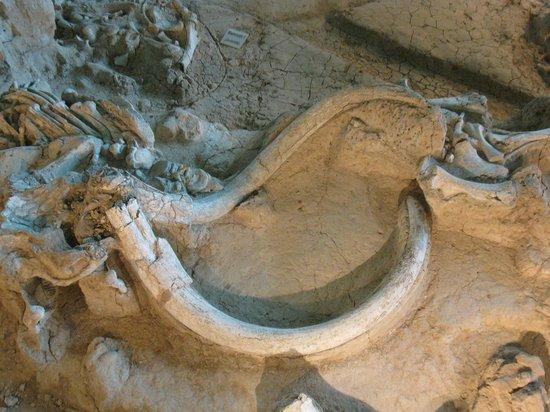 Waco Mammoth Site: Mammoth bones