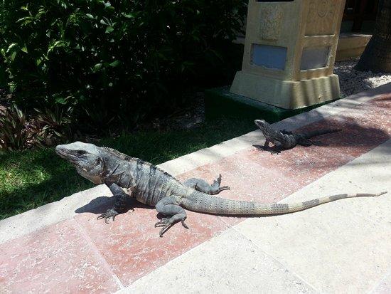 Grand Bahia Principe Tulum: Iguanas