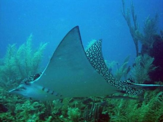 Ramon's Village Resort: Eagle Ray - Ramon's Dive