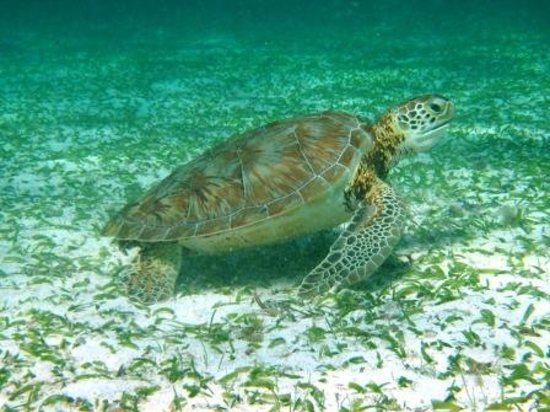 Ramon's Village Resort: Sea Turtle - Hol Chan Reserve