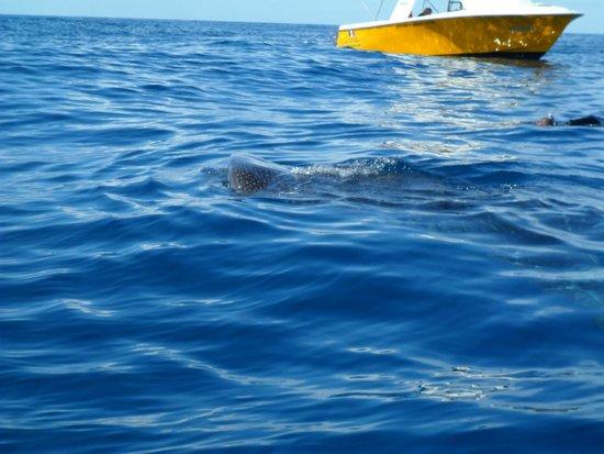 Grand Bahia Principe Tulum: Whalesharks