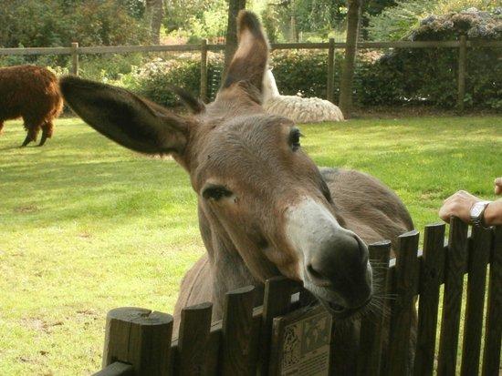 Zoo de Champrepus: âne du cotentin