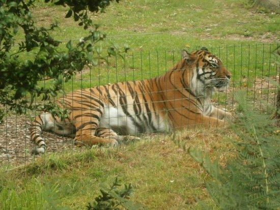 Zoo de Champrepus: tigre