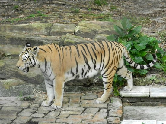 Walt Disney World: Tiger at Animal Kingdom