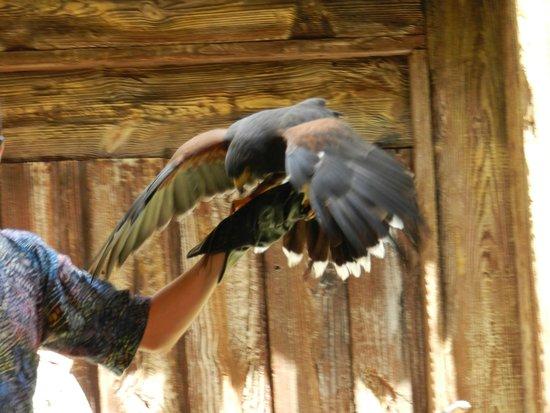 Walt Disney World: Harris's Hawk in the Flights of Wonder Show at Animal Kingdom