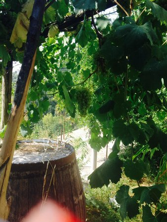 Il Rifugio del Poeta Bed & Breakfast: Grapes for
