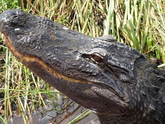Buffalo Tiger's Airboat Tours: Up Close and Personal