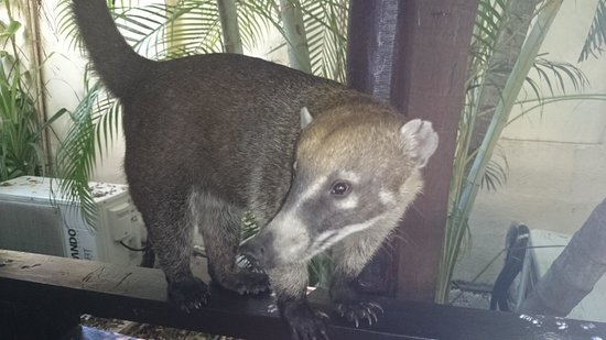 Sandos Caracol Eco Resort: coati