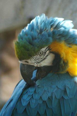 Le Domaine des Fauves : le perroquet bleu, farceur et bavard d'ailleurs!!