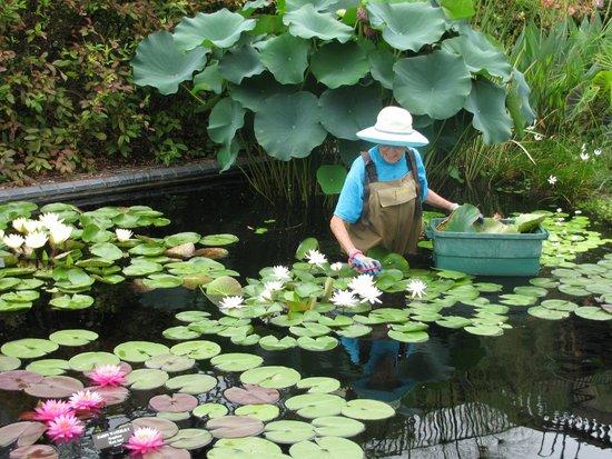 """Longwood Gardens : """"Deadheading"""" Water Lilies"""