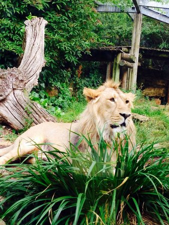 Bristol Zoo Gardens: 1of the lions