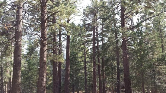 Mount San Jacinto State Park and Wilderness: Pine