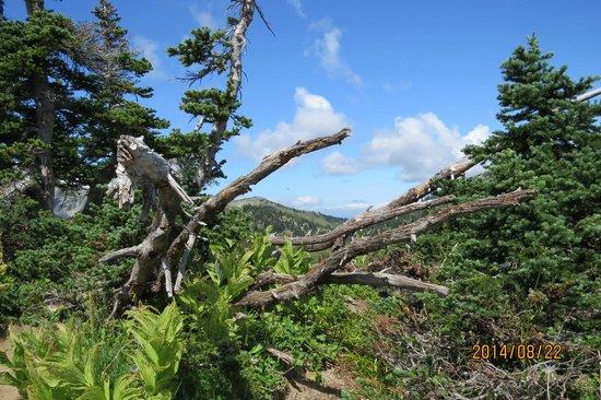 Mount Rainier : Tree stump