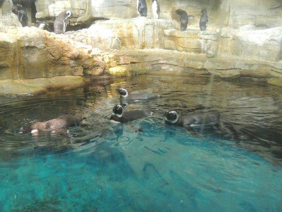 Shedd Aquarium : Penguins