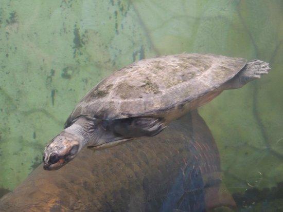 Shedd Aquarium : Turtle