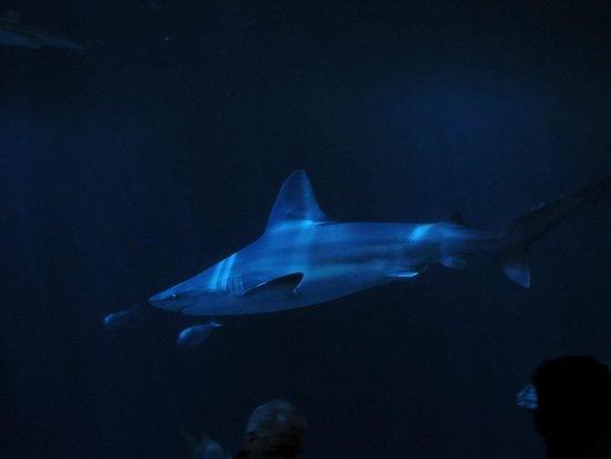 Shedd Aquarium : Shark