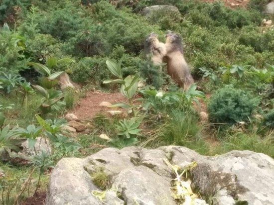 Parc animalier des Angles : Marmotas