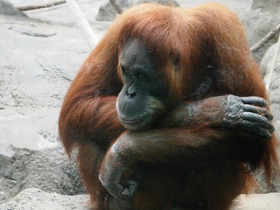St. Louis Zoo: Pensive orangutan on a very warm day.