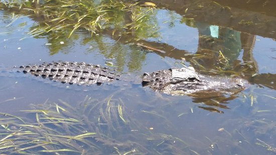 Buffalo Tiger's Airboat Tours: They really know when you're around