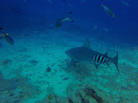 Waidroka Bay Resort: Bull Shark