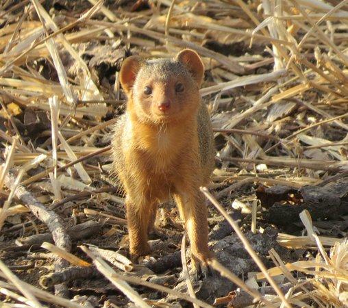 Duma Explorer - Day Tours : dwarf mongoose