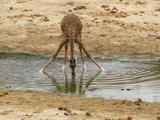 Duma Explorer - Day Tours : giraffe