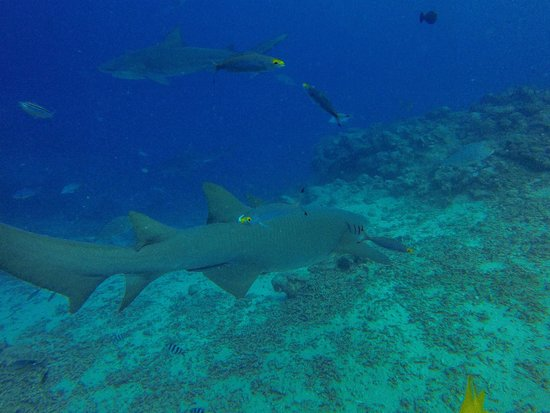 Waidroka Bay Resort: Nurse Shark