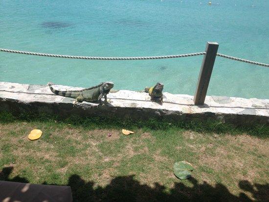 Grand Case Beach Club: iguanas