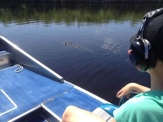 Everglades City Airboat Tours: Alligator on Tour