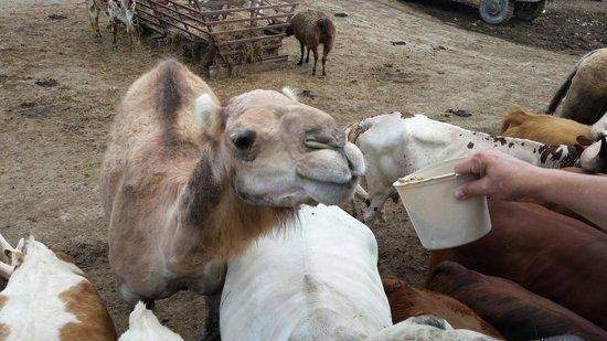 Wagon Trails Animal Park: The girls feeding the camel ��
