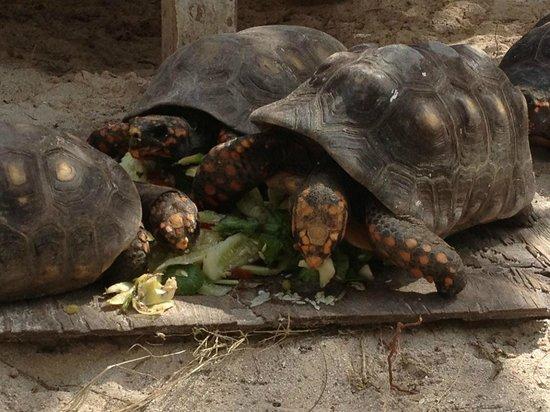 Pineapple Beach Club Antigua: Turtles