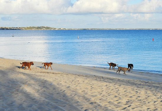 Sibonne Beach Hotel: potcake pups didnt bother me on my morning stroll