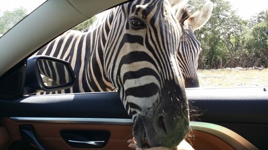 Hotel Valencia Riverwalk : Zebra sticking it's head in car