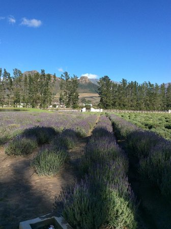 Lavender Farm Guest House Franschhoek: Stunning View of the Lavender Fields