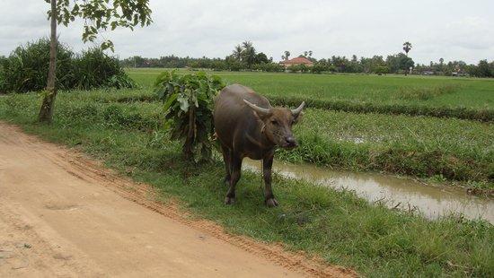 Quad Adventure Cambodia Siem Reap: The water buffalo was close