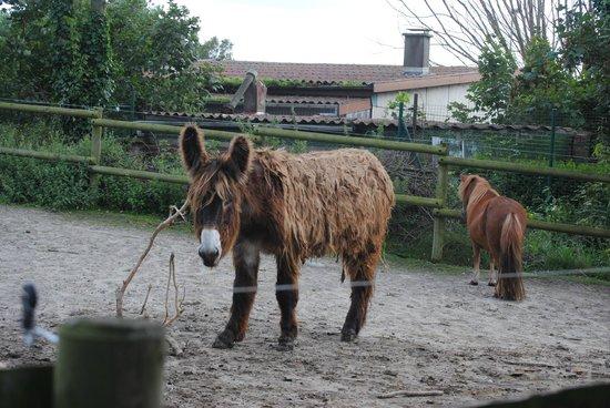 Parc Zoologique de Fort Mardyck : baudet du Poitou