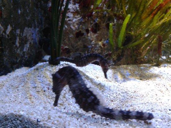 Weymouth, UK: seahorse
